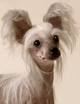 Питомник китайских хохлатых собак